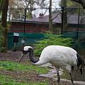 Red Crowned Crane by Carol Ailles