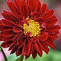 Red Dahlia Unfurled by Susan Herber