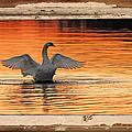 Red Dawn Swan Framed In Old Window Frame by Randall Branham