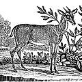 Red Deer by Granger
