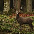 Red Deer Stag by Ulrich Kunst And Bettina Scheidulin