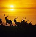 Red Deer Stags by David Aubrey
