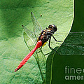Red Dragonfly          by Kaye Menner