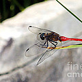 Red Dragonfly 2 by Kaye Menner
