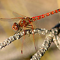 Red Dragonfly by David  Brown