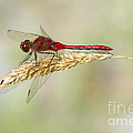 Red Dragonfly by Sharon Talson