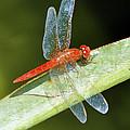Red Dragonfly by Sumit Mehndiratta