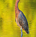 Red Egret In Golden Light by Dave Mills