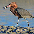 Red Egret With Fish by Dave Mills