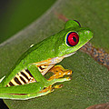 Red-eyed Leaf Frog by Tony Beck