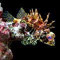 Red Eyed Scorpion Fish by Jennifer Bright