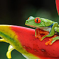 Red-eyed Tree Frog by JM Sowle