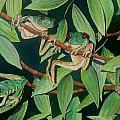 Red Eyed Tree Frogs IIi by Anita Riemen