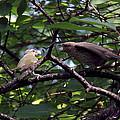 Red-eyed Vireo Feeding Cowbird Fledgling by Doris Potter