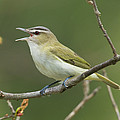 Red-eyed Vireo Vireo Olivaceus Calling by Steve Gettle