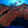 Red Fan Cora With Sunburst, Papua New by Steve Jones
