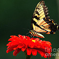 Red Flower And Butterfly by Nick Zelinsky