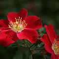 Red Flowers by Douglas Barnard