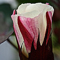 Red Foliated White by Susan Herber