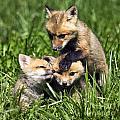 Red Fox Babies - D006647 by Daniel Dempster