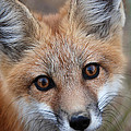 Red Fox 352 by Diana Grant