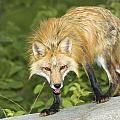 Red Fox by John Pitcher
