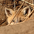 Red Fox Pup Peaking Out Of Den by Mark Duffy