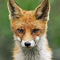 Red Fox Vulpes Vulpes, Hoge Veluwe by Jan Vermeer