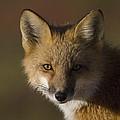 Red Fox Vulpes Vulpes Portrait, Alaska by Michael Quinton