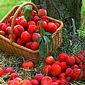 Red Fresh Plums In The Basket by Jeelan Clark