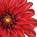 Red Gerber by Al Hurley