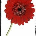Red Gerber Daisy by Darwin Wiggett