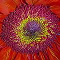 Red Gerber Daisy by Senske Art