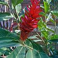 Red Ginger by Ruth Edward Anderson