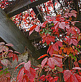 Red Grape Leaves And Beams by Mick Anderson