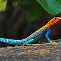 Red-headed Agama by Tony Beck