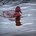 Red Headed Duck by Randall Nyhof