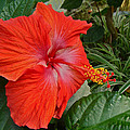 Red Hibiscus Flower by Mother Nature