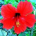 Red Hibiscus by Heidi Kummer