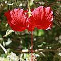 Red Hibiscus by Natalija Wortman