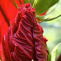 Red Hibiscus Torch by Susan Herber