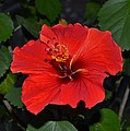 Red Hibiscus by Wanda J King