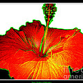 Red Hibiscus With Special Effects by Rose Santuci-Sofranko
