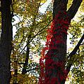 Red Ivy Climb by LeeAnn McLaneGoetz McLaneGoetzStudioLLCcom