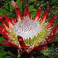 Red King Protea by Rebecca Margraf