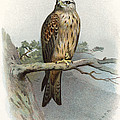 Red Kite, Historical Artwork by Sheila Terry