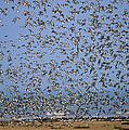 Red Knot Calidris Canutus Flock Flying by Frits Van Daalen