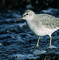 Red Knot Calidris Canutus In Winter by Hans Schouten