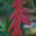 Red Leaf Hanging by Susan Herber