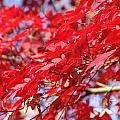 Red Leaves by Rod Ismay